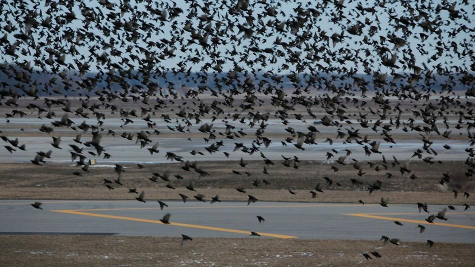 Flocks of birds flying near flight runways are shown at Detroit Metropolitan Wayne County Airport